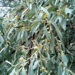 گلدهی درختان سنجد در روستای سنجد خیز گلستان